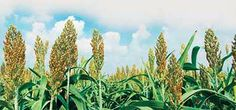 The health benefits and cooking versatility of sorghum, the next 'wonder grain'