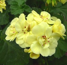 Zonal Geranium 'First Yellow' (Pelargonium x hortorum)