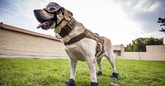 Frida, an Labrador sniffer dog that rescues survivors, brings Mexico 'joy and hope' amid general disappointment about the government's disaster response. Mexico City Earthquake, Animals Images, Cute Animals, Celebrity Dogs, Wolf Pictures, Four Legged, Dog Friends, Rescue Dogs, Beautiful Creatures