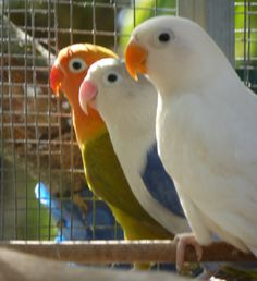 Fischer's Lovebirds.
