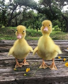 Baby ducks - birds