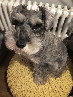 Mini Schnauzer Puppies, Standard Schnauzer, Miniature Schnauzer, I Love Dogs, Cute Dogs, Adoptable Beagle, Teacup Chihuahua, Labrador Retriever Dog, Bull Terrier Dog