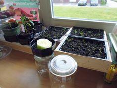 21-5-2014 De zwarte aardbeitjes groeien langzaam, maar ze groeien. Een bleekselderij kontje in het water gelegd, ben benieuwd.