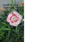 Garofano o dianthus http://hermioneat.blogspot.it/2016/04/unfiorealgiorno-29.html