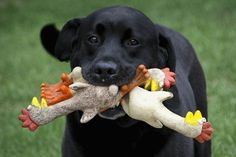 3 Rubber Chickens are always better than 1