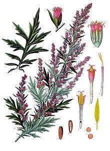 Artemisia vulgaris - Wikipedia, la enciclopedia libre
