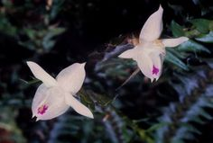 Podochilus gracilis - Found in Sumatra, Java, Borneo and the Lesser Sunda Islands in moist shady areas at elevations of 600 to 1700 meters as a Medium-sized, warm to cool-growing, tree-trunk epiphyte.