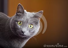 A close-up portrait of a young blue russian / carthusian cat with yellow eyes. Grey coat. Orange blurred background