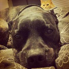 funny pitbull photobomb