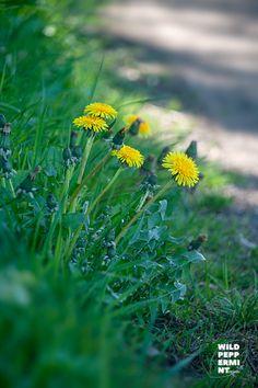 Die Natur Mitte Mai, es blüht, grünt und wächst.  #Naturfotos #Löwenzahn #eisheilige #Gartenrotschwanz #Bienenfreund und mehr >> klick einfach mal rein :-) Mai, Plants, Wildflowers, Simple, Plant, Planets