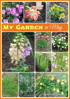 this is just a hint of my garden in North Carolina in May.  Just one of many flowers in my May garden here is NC.  See more at http://thegardeningcook.com/gardening-in-may/