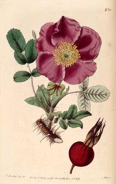 Rosa rugosa [Rynket Rose]