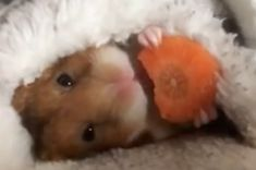 Curl up in a soft blanket, sit back, and relax. | Relax And Watch This Hamster Eat A Little Carrot