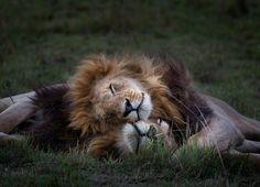 Lion love, Tumblr
