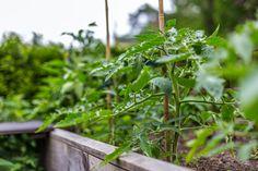 Die 8 wirksamsten Mischkultur-Partner für Tomaten! - Wurzelwerk Parsley, Herbs, Author, Garden, Plants, Urban, Planting Vegetables, Companion Planting, Garden Planning
