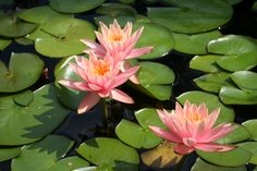 Water Lilys in pond