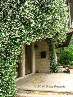 Climbing Star Jasmine One Of The Best Scents In The World