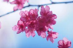 #olympus #pl6 #epl6 #olympuspen #緋寒桜 #ヒカンザクラ #itabashi #前野町 #常楽院 ふと通ったお寺の駐車場にキレイなピンク色の満開の木があったので写真を撮らせてもらいました緋寒桜というらしいですめっちゃきれいでしたよ (by htakizawa)