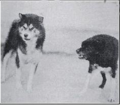 """Фото Д.Вилера. Комментарий: """"Гидди радушно приветствует хаски"""" Гидди (справа) - исконно индейские собаки. Они крепки, жилисты и невероятно выносливы, однако они слишком маленькие, чтобы стать идеальным тягловым животным."""