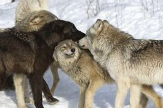 Awww the perfect photo of a pack/family interaction.