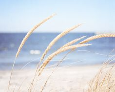 Beach Grass Photography - grasses calming ocean blue light beige sea white cream - nature seashore photo coastal wall art - 8x10 Photograph.