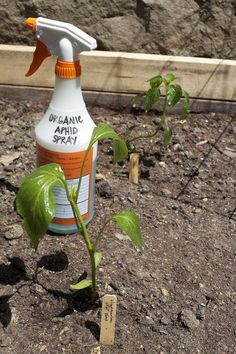 Homemade Organic Aphid Spray -Fill a spray bottle with water about 3/4 of the way to the top, add a squirt of biodegradable dish soap, and a couple cloves of garlic, minced. Mix it all together, let it sit overnight for greater strength, and spray it on your plants.