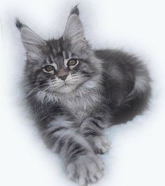 Trendy cats and kittens pictures maine coon Ideas I Love Cats, Cute Cats, Funny Cats, Fluffy Kittens, Cats And Kittens, Pretty Cats, Beautiful Cats, Maine Coon Kittens, Cat Tags