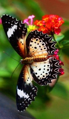 love the lace effect on the wings of this butterfly (or is it a moth? Beautiful Bugs, Beautiful Butterflies, Pretty Flowers, Butterfly Flowers, Butterfly Wings, Butterfly Bush, Butterfly Pictures, Butterfly Painting, Butterfly Kisses