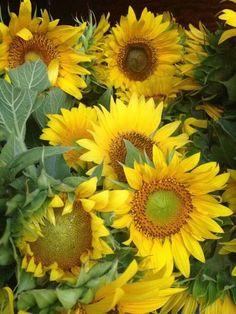 Sunflower Garden, Sunflower Fields, Yellow Sunflower, Yellow Flowers, Sun Flowers, My Flower, Flower Power, Sunflowers And Daisies, Sunflower Pictures