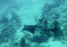 Spotted eagle ray, St. John, USVI.  Pretty much my favorite creature E.V.E.R.