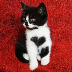 The cutest little black and white cat we've ever seen has to be Zoë, the cat with a heart on her chest. She's basically the cat version of a Care Bear, and it might be too much cuteness for us to handle.