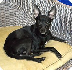 Huntsville, AL - Miniature Pinscher/Chihuahua Mix. Meet Rocky, a dog for adoption. http://www.adoptapet.com/pet/12141426-huntsville-alabama-miniature-pinscher-mix