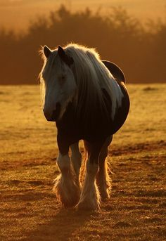 Gypsy Vanner in the Morning