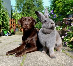 Flemish Giant rabbits are awesome. that's a Labrador! Animals And Pets, Baby Animals, Funny Animals, Cute Animals, Giant Bunny, Big Bunny, Cute Baby Bunnies, Funny Bunnies, Flemish Giant Rabbit