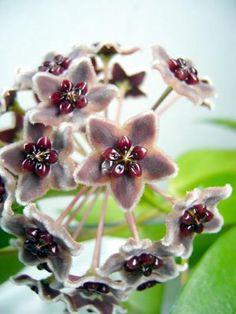 Hoya Globulifera Unique Plants, Exotic Plants, Exotic Flowers, Amazing Flowers, Plant Fungus, Saintpaulia, Garden Trees, Garden Plants, Wax Flowers