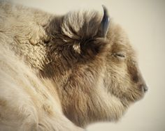 White Buffalo - considered sacred or spiritually significant in several Native American refigions, white fur with blue eyes, extremely rare; the National Bison Association has estimated they only occur in approximately one out of every 10 million births.