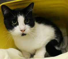 ADOPTED>Intake: 6/30 Available: 7/6 NAME: Oscar  ANIMAL ID: 28267890 BREED: DSH  SEX: Neutered Male  EST. AGE: 6 yrs  Est Weight: 12.13 lbs  Health:  Temperament: Friendly  ADDITIONAL INFO:  RESCUE PULL FEE: FREE!!