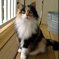 I want one someday, Maine Coon calico kitty! This one is for you mom!!