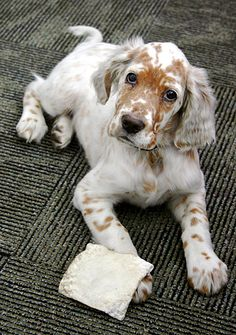 Setter puppy (always adopt, though!) this is about the prettiest pup I have ever seen!!