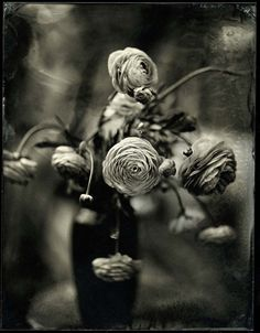 'Renucula 2' by artist & photographer Mark Sink. Collodion wet plate photograph. via Carmen Wiedenhoeft Gallery