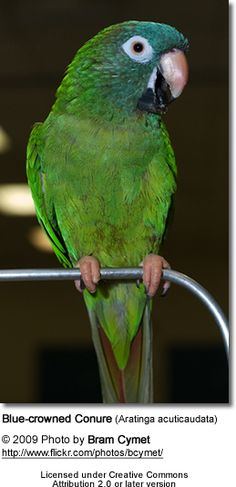 "This Blue Crown Conure looks like my ""Tuka"". She is a wonderful pet!"