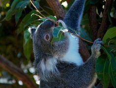 Коалы изначально принадлежат Австралии.