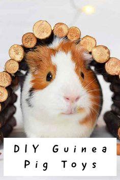 Diy Guinea Pig Toys, Diy Guinea Pig Cage, Guinea Pig Hutch, Guinea Pig House, Baby Guinea Pigs, Guinea Pig Care, Baby Pigs, Guinnie Pig, Guinea Pigs