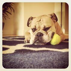 Funny English Bulldog, Mr. Beefy