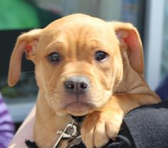 Adoptable Dog: Sheldon - Pit Bull Terrier Mix (Staten Island, NY) #pets #animals #adoption #rescue #dog