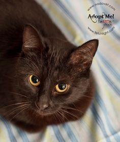 Valentine is an 8 month old, spayed, female black cat available to adopt from Coronado Veterinary Hospital, www.nadovet.com