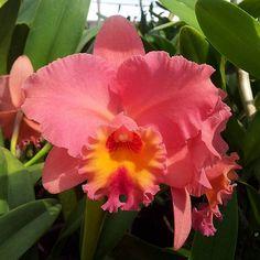 Sc. Royal Beau 'Ali'l  Orquídeas de Venezuela contacto: bellezasydelicias@hotmail.com
