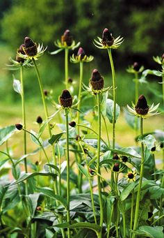 Rudbeckia occidentalis Green Wizard