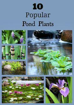Popular Pond Plants - C. Water Garden Plants, Container Water Gardens, Water Plants For Ponds, Floating Pond Plants, Container Pond, Pond Landscaping, Ponds Backyard, Garden Ponds, Bog Garden