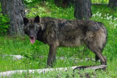 Wolf Advocates Look For Oregon Governor's Decision On Delisting Bill . News | OPB